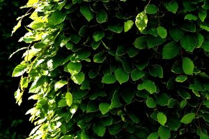 shrubs for privacy
