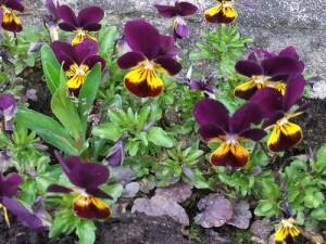 Violas for Fall Color