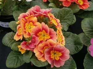 Primroses for Annual Winter Color