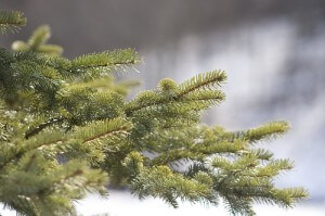 Hemlock Christmas Tree