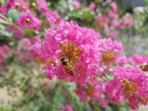 bee on a pink crape myrtle flower