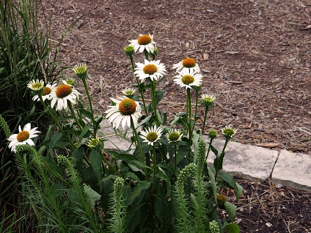 White coneflowers with brown mulch