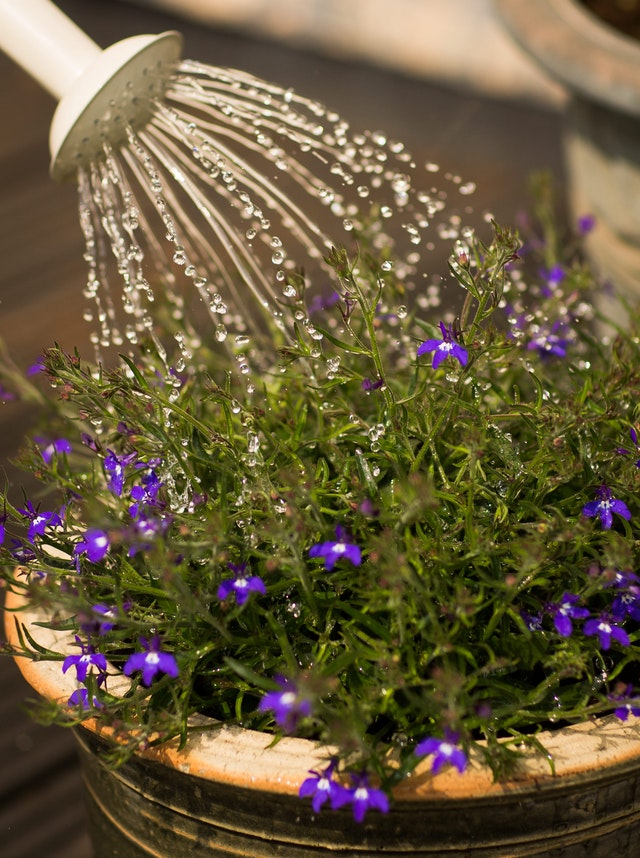 Watering can pouring water over purple flowers in a flower pot