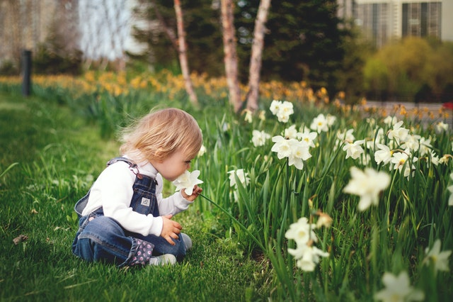 Toddler in overalls smelling daffodils