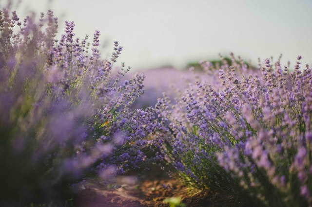 Lavender plants in a field