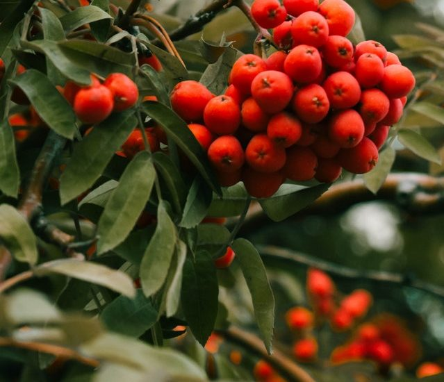 Close up of red berries on yaupon holly shrub